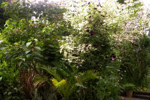 Clerodendron tricotomum bed August